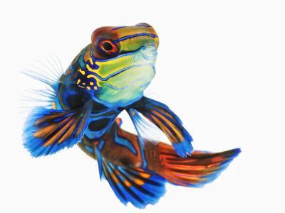 Mandarinfish-Martin Harvey-Photographic Print