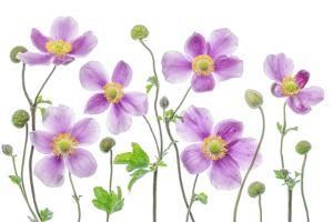 Anemone Japonica by Mandy Disher