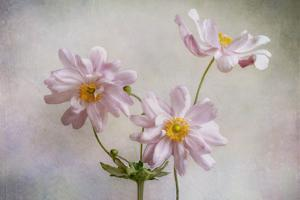 Anemones by Mandy Disher