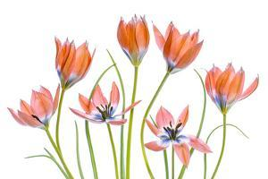 Apricot Tulips by Mandy Disher