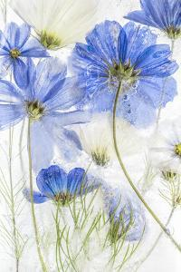 Cosmos Blue by Mandy Disher