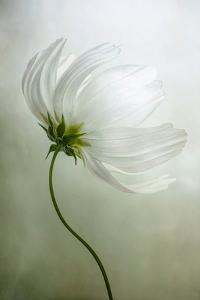Cosmos Charisma by Mandy Disher