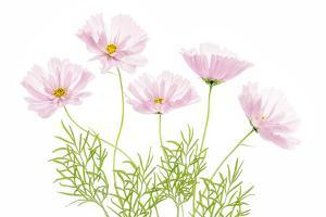 Cosmos Cupcake by Mandy Disher
