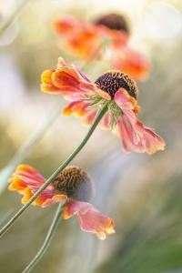 Helenium* by Mandy Disher