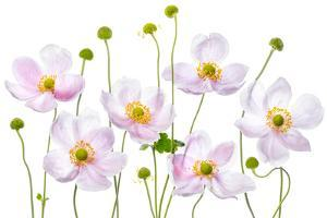 Japanese Anemones by Mandy Disher