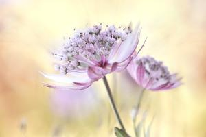 Pink Astrantia by Mandy Disher