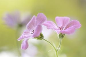 Pink Melody by Mandy Disher