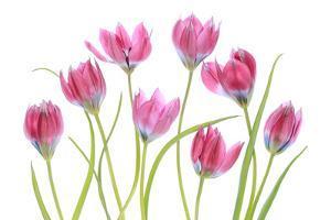 Tulip blush by Mandy Disher