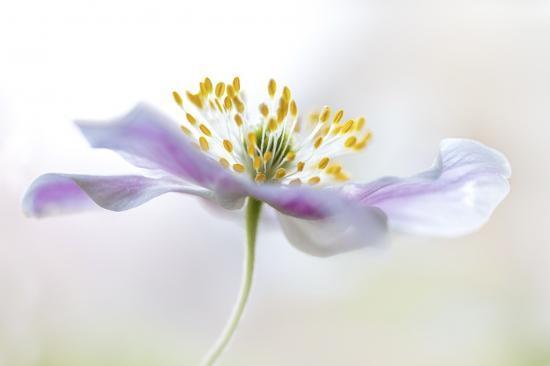 mandy-disher-wood-anemone