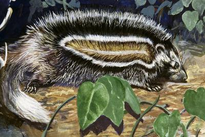 Maned Rat or Crested Rat (Lophiomys Imhausi), Muridae--Giclee Print