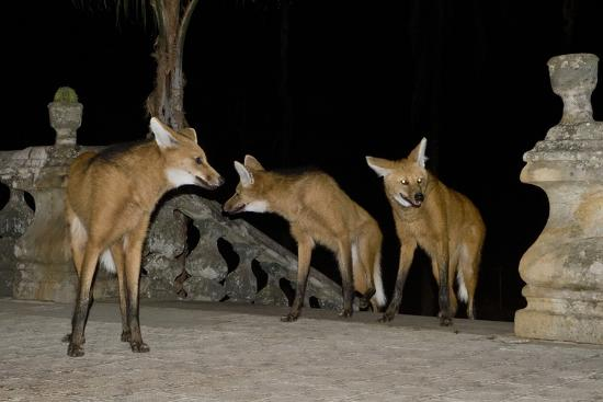 Maned Wolves (Chrysocyon Brachyurus) At Santurio Do Caraca, Where They Are Fed, At Night-Angelo Gandolfi-Photographic Print