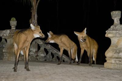 https://imgc.artprintimages.com/img/print/maned-wolves-chrysocyon-brachyurus-at-santurio-do-caraca-where-they-are-fed-at-night_u-l-q13a93w0.jpg?p=0