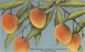 Mangoes, Ft. Myers, Florida