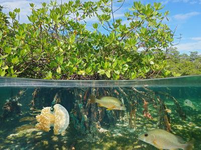 Mangrove Above and Below Water Surface, Half and Half, Caribbean Sea-Seaphotoart-Photographic Print