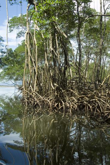 Mangrove, Los Haitises National Park, Dominican Republic-Natalie Tepper-Photo