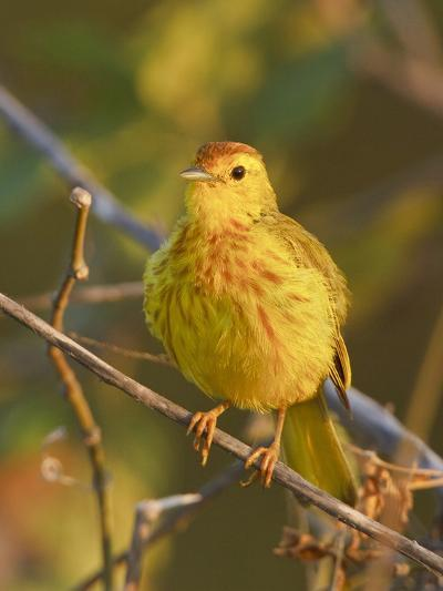 Mangrove or Yellow Warbler (Dendroica Petechia) Perched on a Branch Near the Coast of Ecuador-Glenn Bartley-Photographic Print