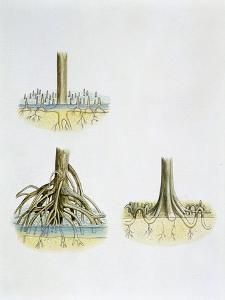 Mangroves with Roots Pneumatophores Sonneratia, Brugulera and Rhizophora