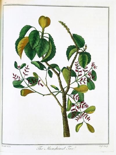 Manicheel Tree (Hippomane Mancinell) or Poison Guava, C1795--Giclee Print