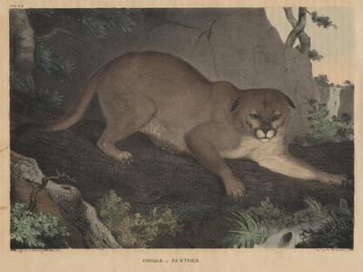 Cougar or Panther