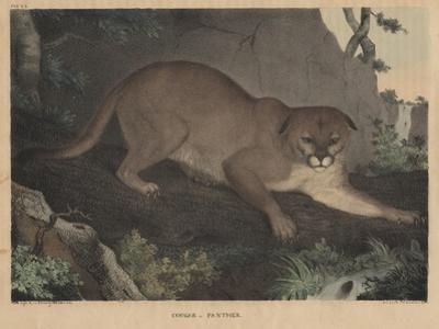 Cougar or Panther by Mannevillette Elihu Dearing Brown