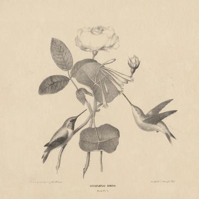Hummingbirds, from 'Life on Stone', 1832