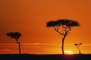Acacia Trees Silhouetted in Orange Sunset, Kenya by Manoj Shah