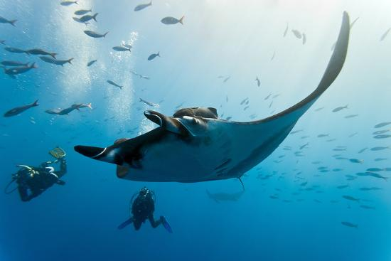Manta and Diver on the Blue Background-Krzysztof Odziomek-Photographic Print