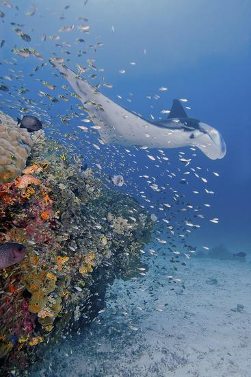 Manta Ray, Fish and Coral, Raja Ampat, Papua, Indonesia Photographic Print  by Jaynes Gallery | Art com