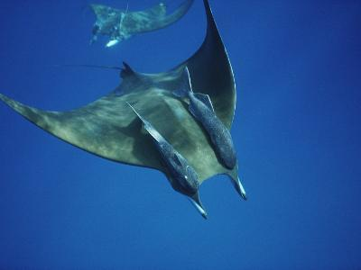 Manta Ray with Remoras, Cocos Islands, Indian Ocean-Joe Stancampiano-Photographic Print