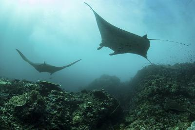 Manta Rays Swims Through a Current-Swept Channel in Indonesia-Stocktrek Images-Photographic Print