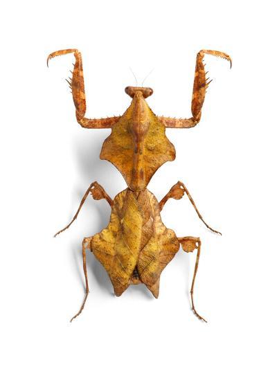 Mantis 1-Christopher Marley-Photographic Print