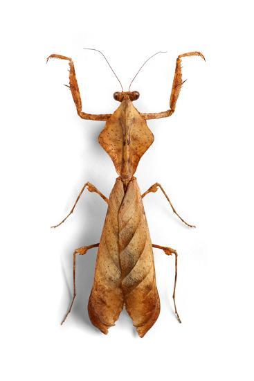 Mantis 3-Christopher Marley-Photographic Print