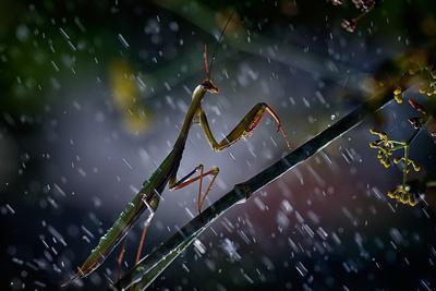 https://imgc.artprintimages.com/img/print/mantis-in-the-rain_u-l-pu1lal0.jpg?p=0