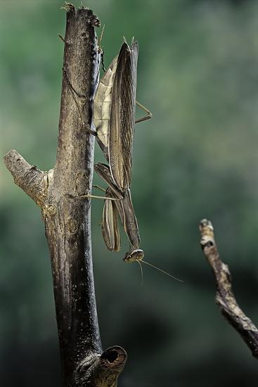 Mantis Religiosa (Praying Mantis) - Female Ready to Lay-Paul Starosta-Photographic Print