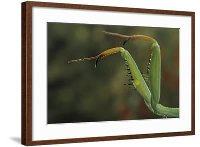 Mantis Religiosa (Praying Mantis) - Forelegs-Paul Starosta-Framed Photographic Print