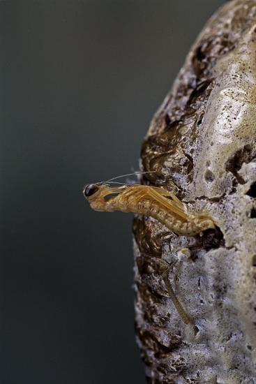 Mantis Religiosa (Praying Mantis) - Hatching-Paul Starosta-Photographic Print