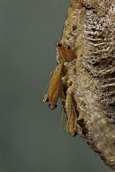 Mantis Religiosa (Praying Mantis) - Hatching-Paul Starosta-Photographic Print