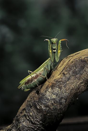 Mantis Religiosa (Praying Mantis) - in Defensive Posture, Threat Display-Paul Starosta-Photographic Print