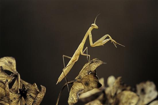 Mantis Religiosa (Praying Mantis) - Larva-Paul Starosta-Photographic Print