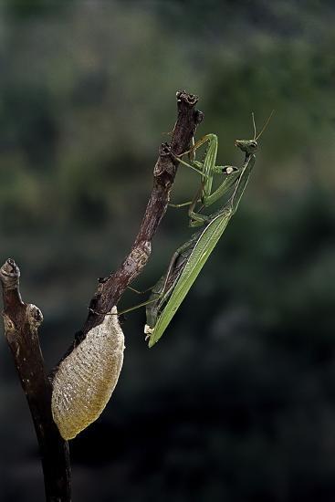 Mantis Religiosa (Praying Mantis) - Laying-Paul Starosta-Photographic Print