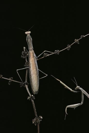 Mantis Religiosa (Praying Mantis) - Male with Female-Paul Starosta-Photographic Print