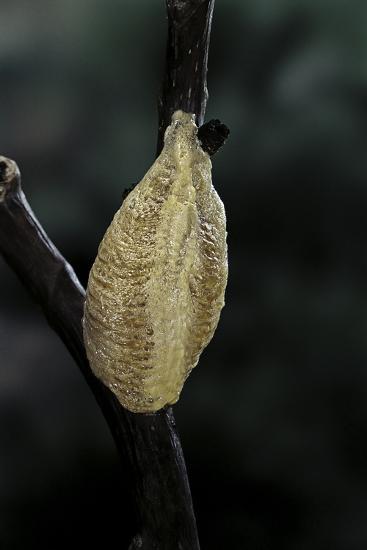 Mantis Religiosa (Praying Mantis) - Recently Laid Ootheca-Paul Starosta-Photographic Print