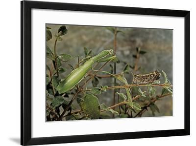 Mantis Religiosa (Praying Mantis) - Watching its Prey-Paul Starosta-Framed Photographic Print