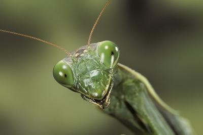 Mantis Religiosa (Praying Mantis) --Paul Starosta-Photographic Print