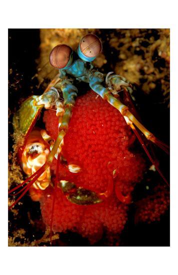 Mantis Shrimp Holding Eggs, Sulawesi-Charles Glover-Art Print