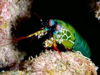 Mantis Shrimp-Louise Murray-Photographic Print