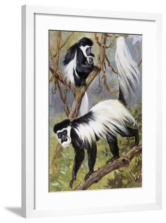 Mantled Guereza or Abyssinian Black-And-White Colobus (Colubus Guereza), Cercopithecidae--Framed Giclee Print