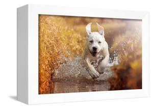 A Young Labrador Retriever Dog is Running through a River with a Pretty Face in Autumn by manushot