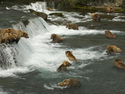 Many Brown Bears Congregated to Feed on Salmon-Barrett Hedges-Photographic Print