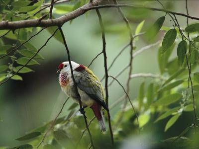 Many-Colored Fruit Dove Sitting on a Slender Tree Branch-Tim Laman-Photographic Print